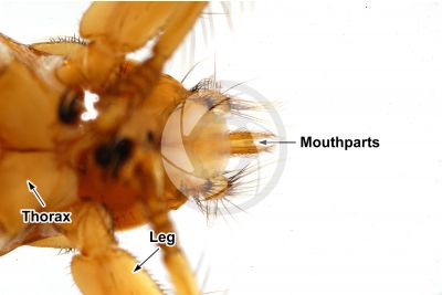 Crataerina pallida. Swift lousefly. Ventral view. 5X