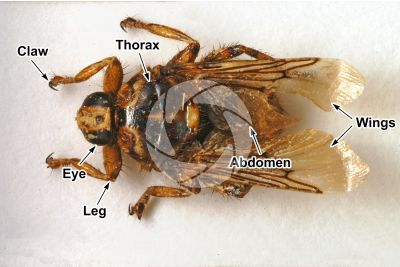 Hippobosca equina. Forest fly