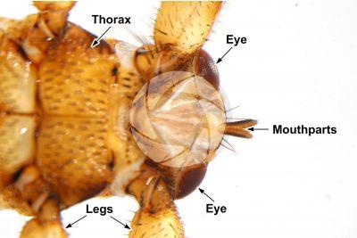 Lipotema cervi. Ventral view. 5X