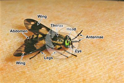 Chrysops caecutiens. Splayed deer fly