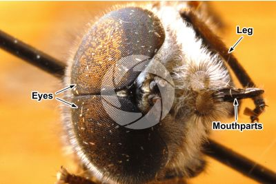 Tabanus sp. Horse-fly. Front view. 5X