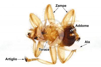 Stenepteryx hirundinis. Vista ventrale