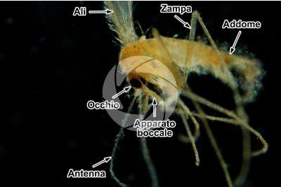 Phlebotomus papatasi. Pappataci. Vista laterale