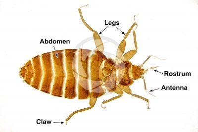 Cimex lectularius. Bed bug. Dorsal view. 7X