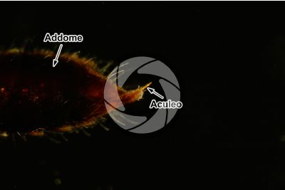 Scleroderma domesticum. Scleroderma domestico. Vista laterale. 25X