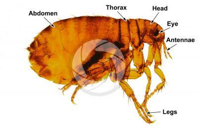 Pulex irritans. Human flea. Female. Lateral view