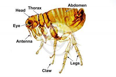 Pulex. Human flea. Male. Lateral view