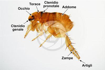 Ctenocephalides felis. Pulce del gatto. Vista laterale