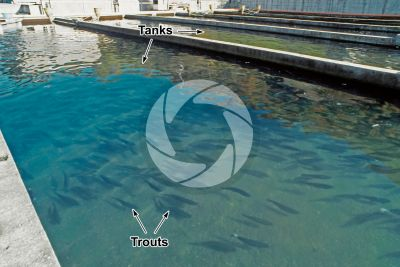 Trout breeding. Tanks