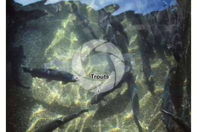 Trout breeding. Tank with Oncorhynchus mykiss. Rainbow trout