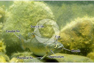Trout breeding. Oncorhynchus mykiss. Rainbow trout