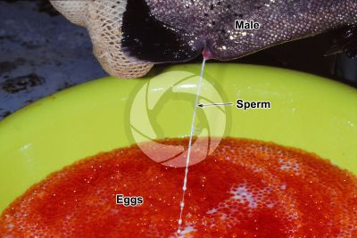 Trout breeding. Squeezing sperm of Oncorhynchus mykiss. Rainbow trout