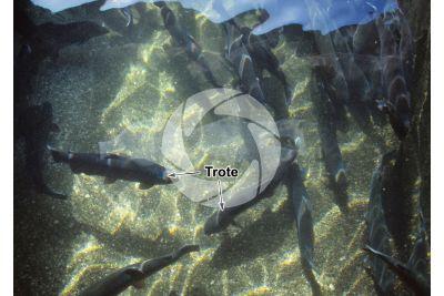 Troticoltura. Vasca con Oncorhynchus mykiss. Trota iridea