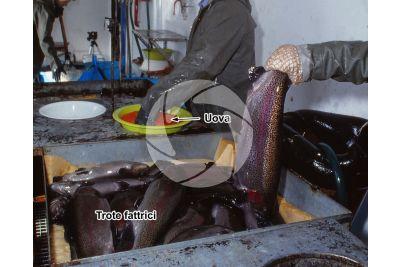 Troticoltura. Spremitura delle uova di Oncorhynchus mykiss. Trota iridea