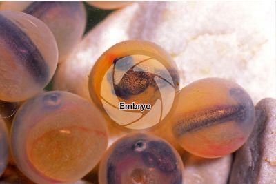 Salvelinus fontinalis. Brook trout. Embryos