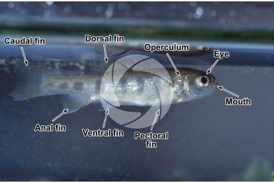 Salvelinus fontinalis. Young brook trout