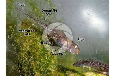 Rana temporaria. Common frog. Tadpole. Metamorphosis
