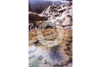 Rana temporaria. Rana alpina. Uova