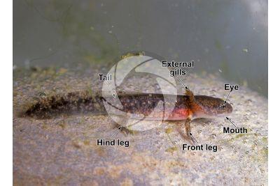 Triturus cristatus. Northern crested newt. Tadpole