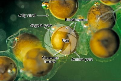 Xenopus laevis. African clawed frog. Eggs. Stage of segmentation. 2 blastomeres