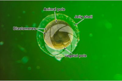Xenopus laevis. African clawed frog. Egg. Stage of morula