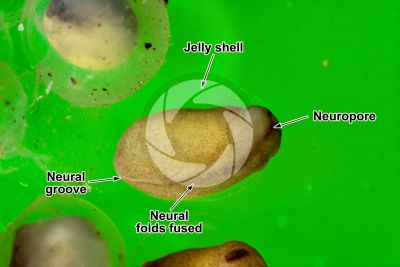 Xenopus laevis. African clawed frog. Embryo. Stage of neurulation