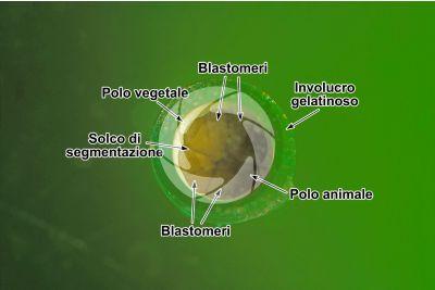 Xenopus laevis. Xenopo liscio. Uovo. Stadio di segmentazione. 4 blastomeri