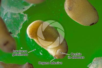 Xenopus laevis. Xenopo liscio. Embrione. Stadio di organogenesi