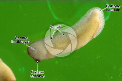Xenopus laevis. Xenopo liscio. Girino. Stadio di organogenesi