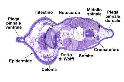 Xenopus laevis. Xenopo liscio. Girino. Stadio di larva. Sezione trasversale. 125X