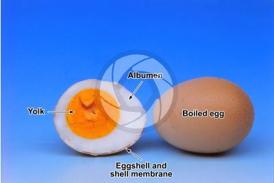 Gallus gallus domesticus. Chicken. Egg