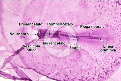 Gallus gallus domesticus. Pollo. Embrione. Stadio di gastrulazione e formazione degli organi primari