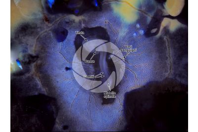 Gallus gallus domesticus. Pollo. Embrione. Stadio di organogenesi