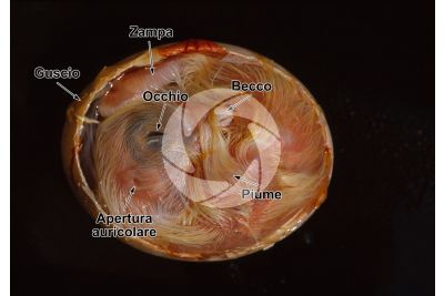Gallus gallus domesticus. Pollo. Embrione