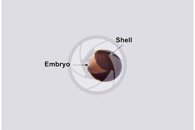 Artemia salina. Artemia salina. Embryo