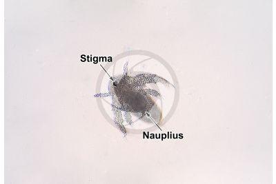 Artemia salina. Artemia salina. Larva