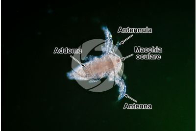Artemia salina. Scimmia di mare. Larva