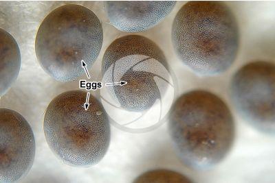 Bombyx mori. Silkworm. Eggs