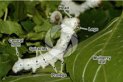 Bombyx mori. Silkworm. Larva