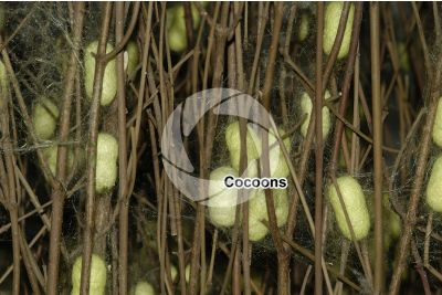 Bombyx mori. Silkworm. Cocoon