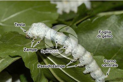 Bombyx mori. Baco da seta. Larva