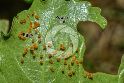 Chrysomela populi. Chrysomela populi. Eggs