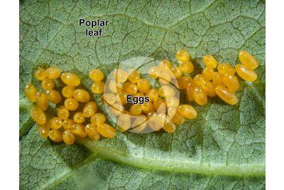 Chrysomela populi. Chrysomela populi. Eggs. 5X