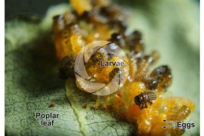Chrysomela populi. Chrysomela populi. Larva. 10X