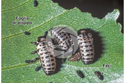 Chrysomela populi. Crisomela del pioppo. Larva