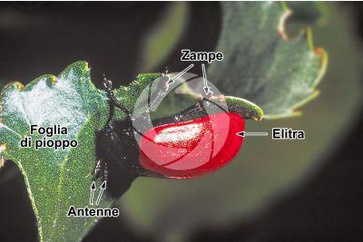 Chrysomela populi. Crisomela del pioppo. Adulto