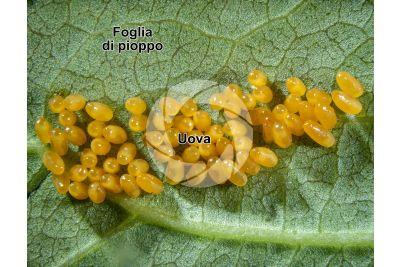 Chrysomela populi. Crisomela del pioppo. Uova. 5X