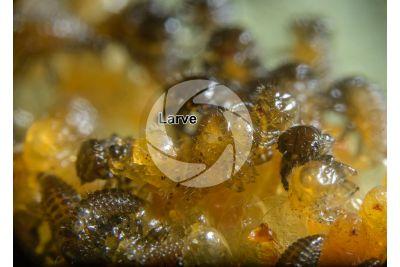 Chrysomela populi. Crisomela del pioppo. Larva. 15X