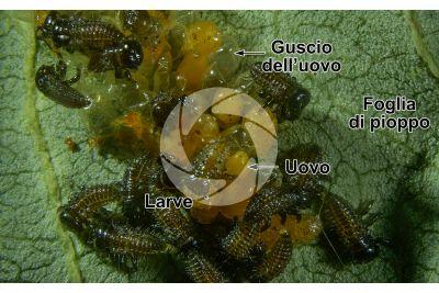 Chrysomela populi. Crisomela del pioppo. Larva. 5X