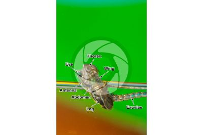 Culex pipiens. Common house mosquito. Stage of metamorphosis